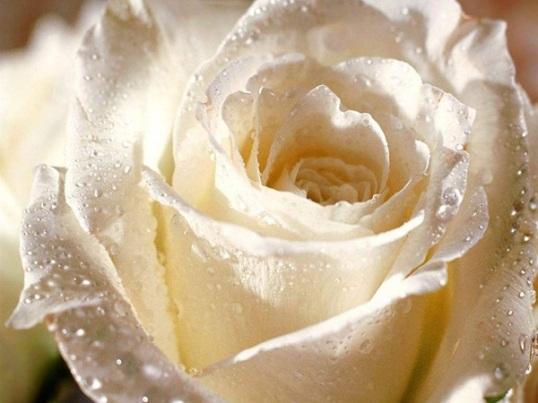 White_Rose0